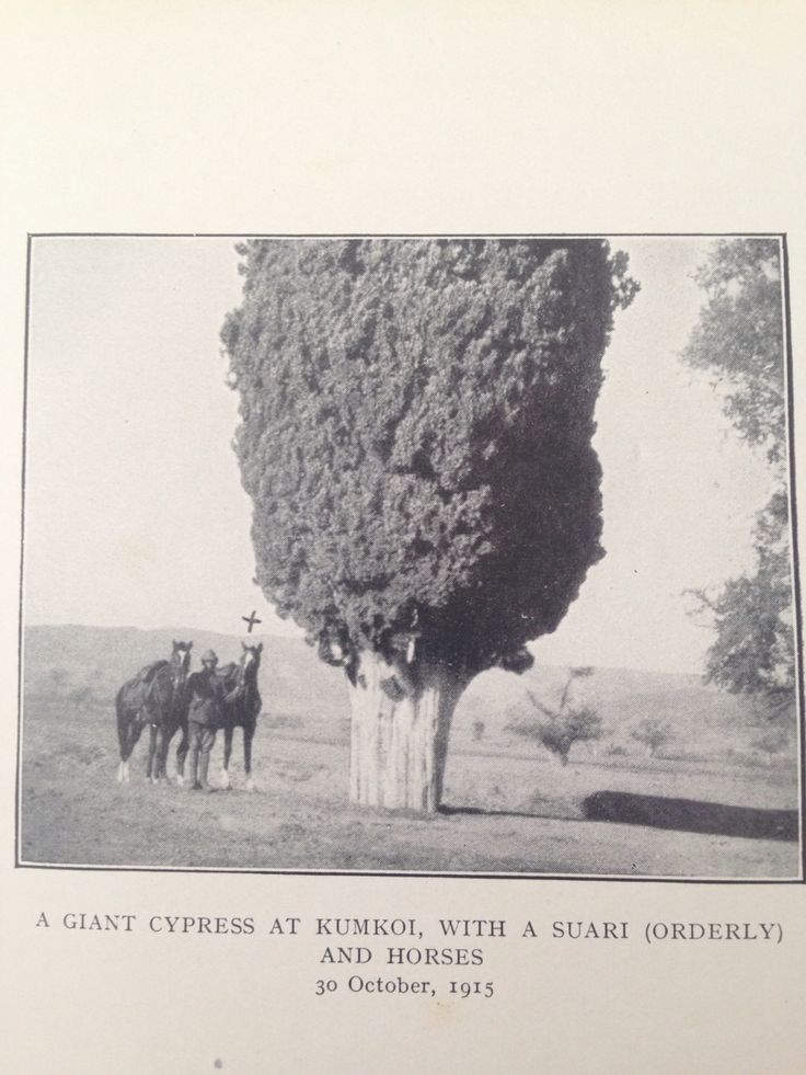 A giant cypress at Kumkoi, with a suari(orderly) and horses #gallipoli #dardanellen 30 October 1915