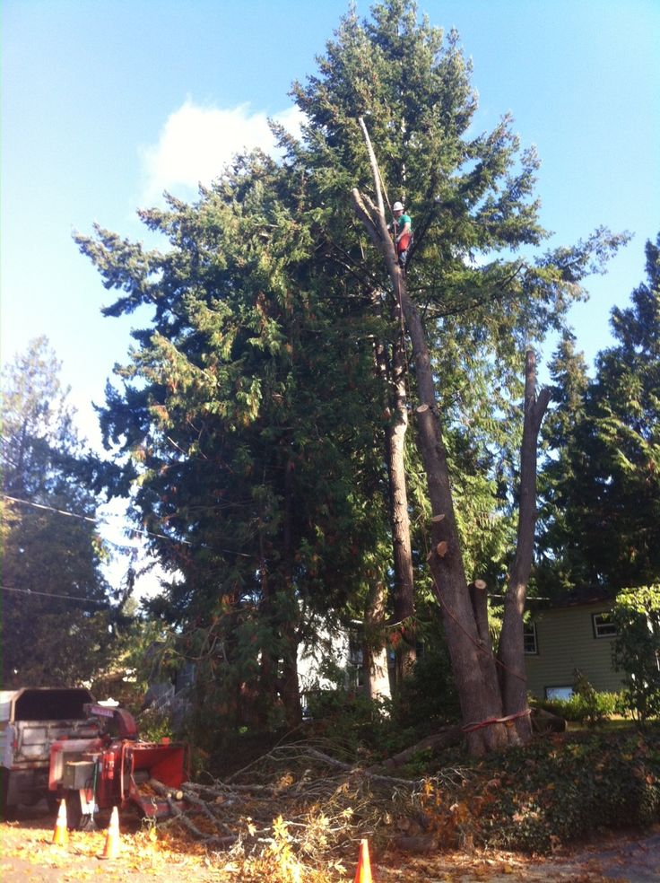 Tree Service, Tree Removal, Pruning, Arborist, Tree Care, residential tree service, tree removal, tree quote, tree cutting, professional arborist, Brush Chipping, tree pruning service, Dakota Red Cloud, Seattle tree service,  Seattle tree removal,  Woodinville tree service, Woodinville tree removal, Redmond tree service, Redmond tree removal, Bellevue tree Service, Bellevue tree removal, Bothell tree removal, Bothell tree service
