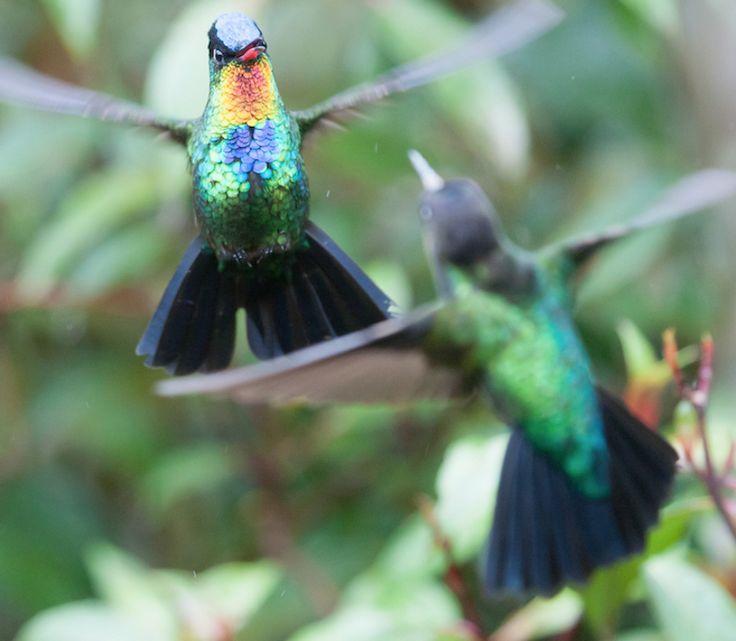 Best Hummingbirds A Humming Images On Pinterest Humming - Photographer captures amazing close up photos of hummingbirds iridescent feathers