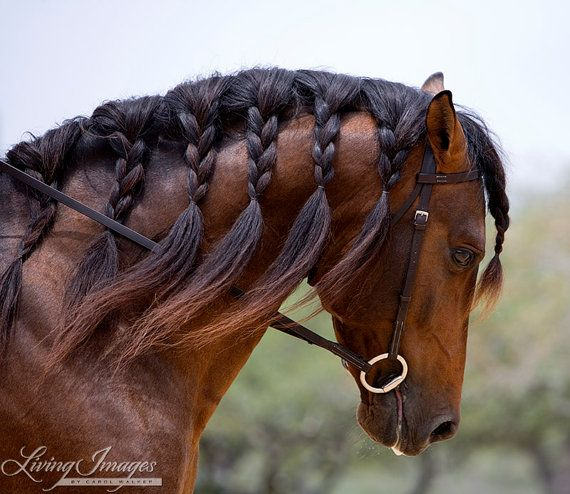 Andalusian Stallion's Braided Mane Fine Art by WildHoofbeats