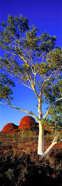 Kata Tjuta Ghost Gum, Nt, Australia...Early morning catches the bark of a ghost gum and the domes of Kata Tjuta in full splendour. I had the permission of local Aboriginal elders to photograph here, and it was out of respect for their traditional beliefs that I purposely included more than just one of Kata Tjuta's domes in the composition.