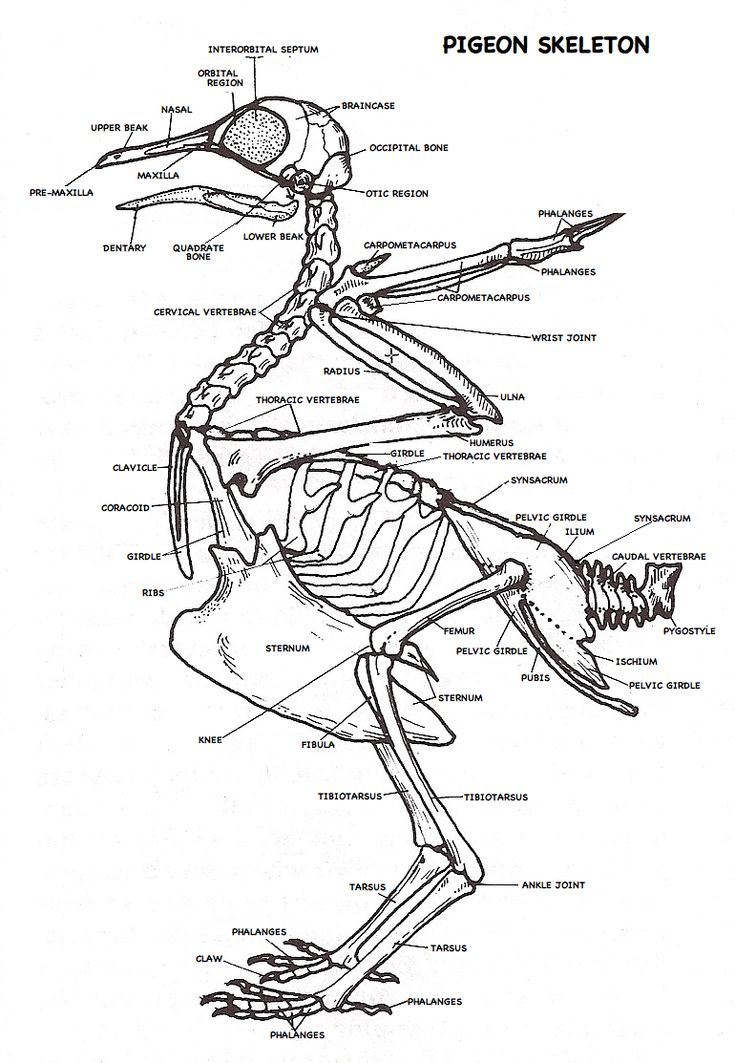 labeled pigeon skeleton diagram
