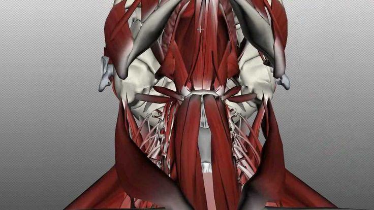 Vocal Anatomy: Anatomy Zone: Neck Muscle Anatomy - Anterior Triangle Part 1