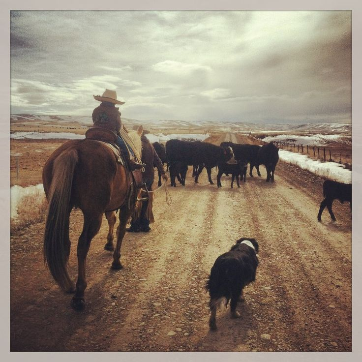 Little Montana cowboy trailing mommas and calves to the pasture.