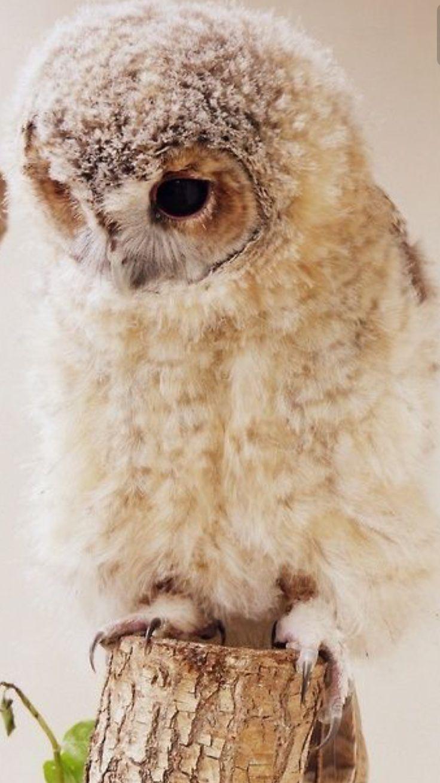 cute lil owlet, so fluffy:):):)