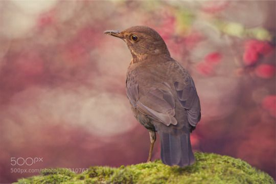 Female Blackbird by katrinriege http://ift.tt/1Za4phB