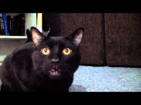 【動物の歌声】オペラ歌手のように歌う猫が可愛いと話題に