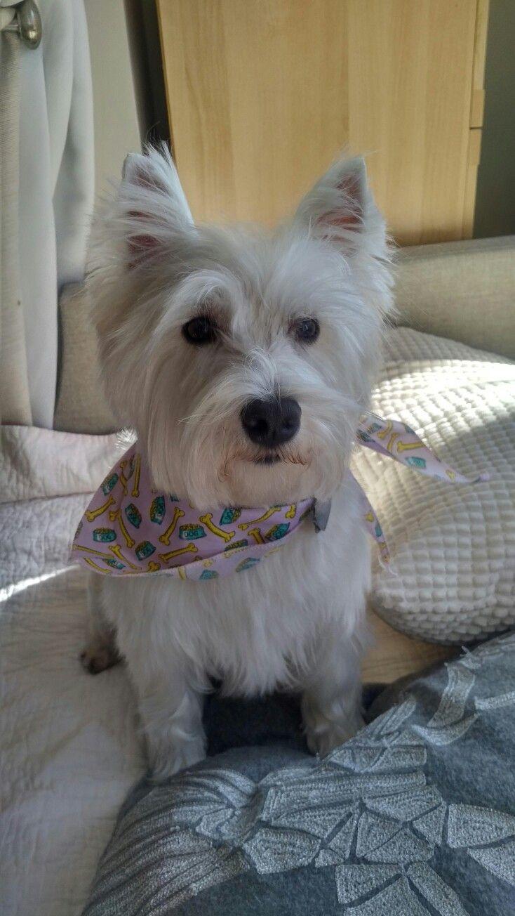 Pin By Kim Vermillion On Westies Cute Little Dogs Cute Dogs