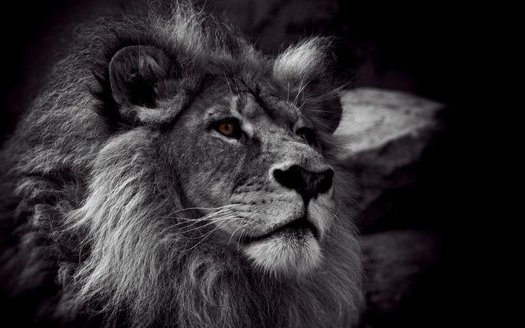 General 2560x1600 lion monochrome