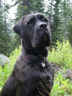 If you have ever owned a Cane Corso, you know that training this dog can be a serious job; especially if you've got a stubborn one like mine....
