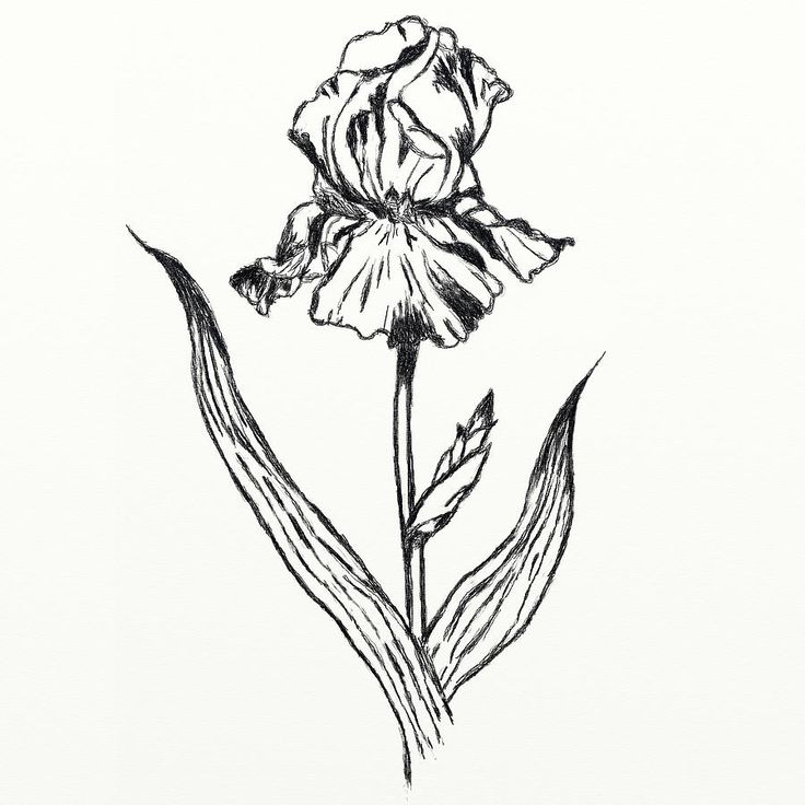 Line Drawing Of Iris Flower : Best images about flower line drawings on pinterest