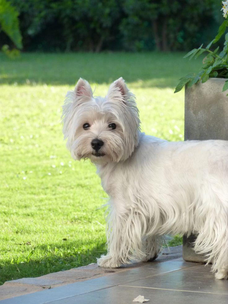 Mona - Westie West Highland White Terrier