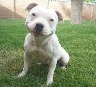 Pittie smile!