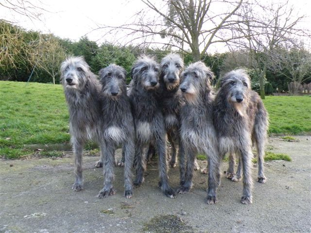 Scottish Deerhound - antecedents will have existed back to a time before recorded history. They would have been kept by the Scots and Picts, and used to help in providing part of their diet, mainly hoofed game. Evidence can be found on standing stones from around the 7th century AD reflecting a hunt using hounds, such as the Hilton of Cadboll Stone.