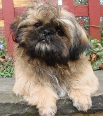how big does a shih tzu get 972 best images about shih tzu and doodles on pinterest 7842