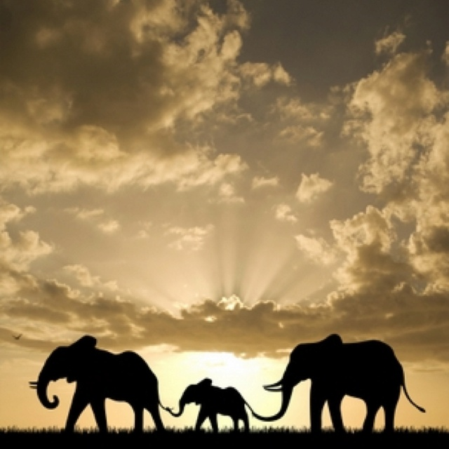 Elephants Walking At Sunset. Wallpaper And Background Photos Of Elephant  Family For Fans Of Elephants Images.