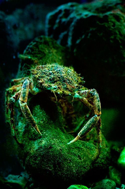the green crabs Invasive green crabs are prolific all over the world officially called european  green crabs , they are known for outcompeting native shellfish.