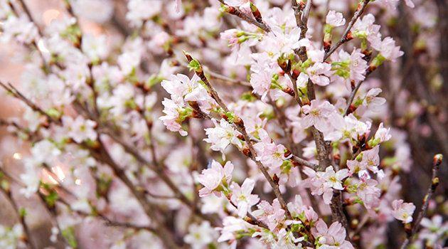 冬に咲く桜「啓翁桜」