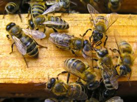 Queen of the Sun: A Must-See Bee Documentary - Honeybees and Beekeeping - MOTHER EARTH NEWS