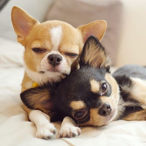 two perfect little chihuahuas
