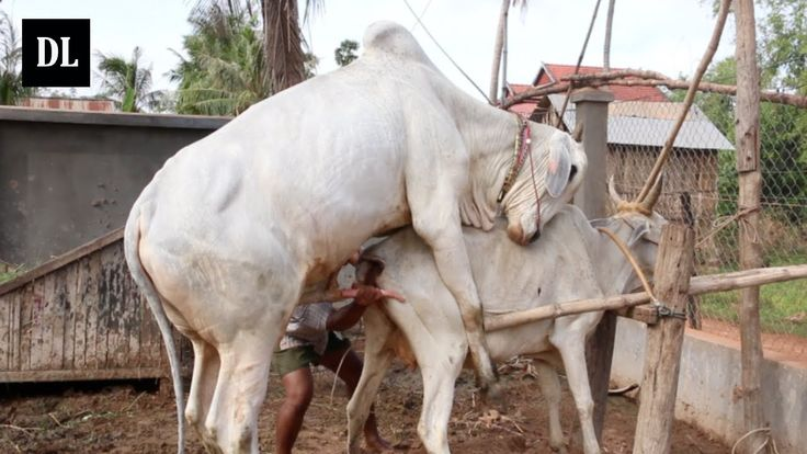 Wow! Amazing Man Breed Cow How to breds cows in my Country -  របៀបបង្កាត...