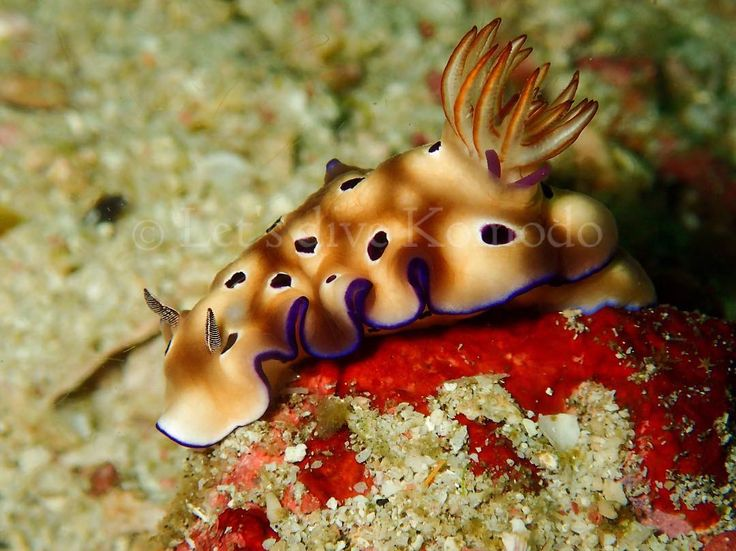Another beauty - Nudibranch #komodo #labuanbajo #nudibranch #colors #beautiful #macro #scuba #diving #divecenter #travel #holiday #backpacking #wanderlust #bucketlist #adventure #explore #ocean #sea #marinelife #uwphotography  #lovemyjob #live #enjoy #life #instapic #instadaily #photooftheday #exploreindonesia #wonderfulindonesia