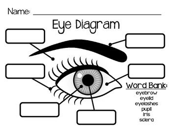 Use this simple eye diagram for primary students as they learn about the human eye. Two differentiated worksheets included: one with a word bank and one without. Words to label: eyebrow, eyelid, eyelashes, pupil, iris, and sclera.