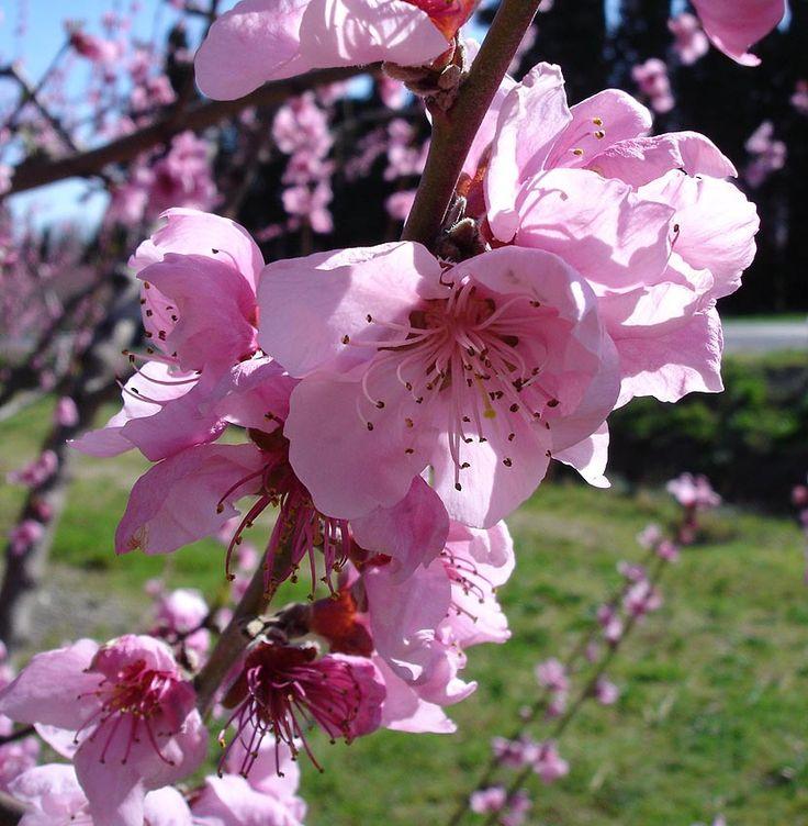 Los árboles del género Prunus: El melocotonero Flor del melocotonero (Prunus persica). El melocotonero junto con el albaricoquero el cerezo el almendro y el ciruelo forma parte del género Prunus cuyo cultivo está principalmente motivado por sus frutos aunque también tienen otras propiedades que los hacen interesantes para los humanos.  El melocotonero (Prunus persica) es un árbol que se cultiva principalmente por su fruto el melocotón o durazno. de piel aterciopelada. Existe una variedad de…