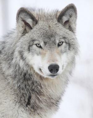 Beautiful Wolf By Denis Dumoulin.