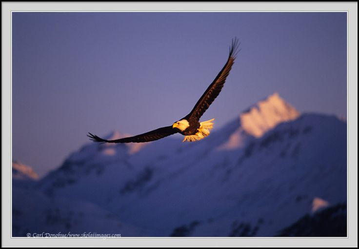Bald eagles images | stock eagle images | photographs of bald eagles, adults, in flight, soaring, silhouettes
