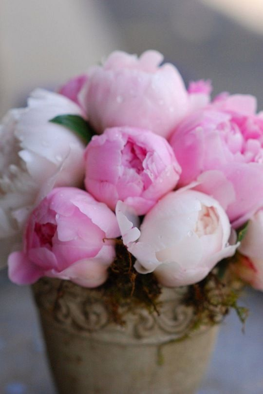 peony roses are the best!