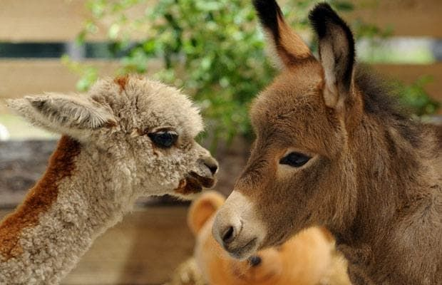Fudge the baby Alpaca makes friends with Sparky the week-old miniature donkey at Ashington Park Stud, Melbourne, Australia