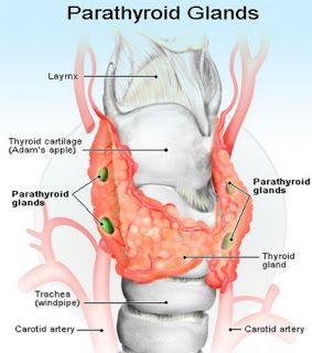Glandele paratiroide si implicarea acestora in metabolismul fosfo-calcic.