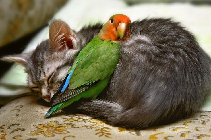 "Lovebirds are extremely brave, this is true. But what is going on here is the magic of natural predictability. The only ""unpredictable"" living creature on earth, is ""human"".: Cats, Kitten, Animals, Sweet, Pets, Friendship, Adorable, Photo, Birds"