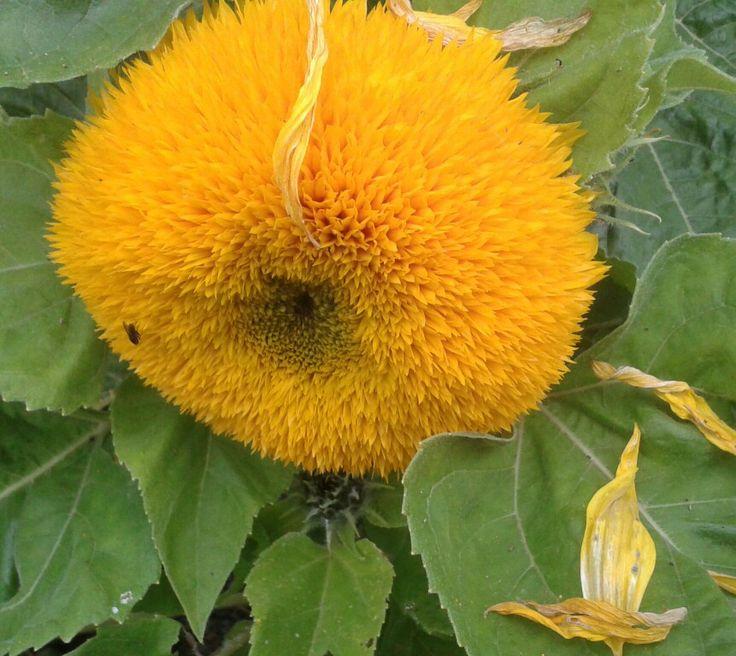 Pompom sunflower
