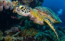 How many types of sea turtle are there, and how many can you find on the Great Barrier Reef...? Discover this and much more, with our ten facts about sea turtles. Brush up on your sea turtle trivia...!