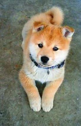 Fluffy Shiba Inu puppy