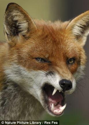 94 best images about fox fandom on pinterest foxes