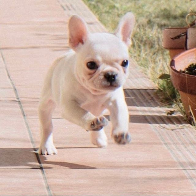 Too cute baby frenchie!! http://www.poochportal.com