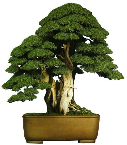 bonsaitoday: Needle Juniper Juniperus Rigida, Bonsai Today ...