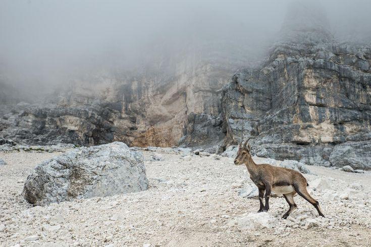 italien montasch almen steinbock unterhalb des jôf di