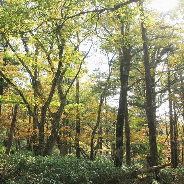 【haiirototoro】さんのInstagramをピンしています。 《〜おととしの寒露のころに 奈良県のどこかで〜 緑色から黄色や橙色へ 森のなかで いろんな色がまざりあっています  大台ヶ原の苔探勝路というところ コケはあんまりはえてないけど 駐車場にちかいから 気軽にあるけるところです  たぶん 来週の週末あたりが紅葉のみごろ  車でいくと 土日はすっごく渋滞してとめられないかも できれば 平日か朝はやくにいったほうがいいです  #大台ヶ原 #大台ケ原 #oodaigahara #紅葉 #黄葉 #autumnleaves #fallcolors #autumncolors #fallleaves #秋晴れ #森 #forest #naturelovers #natureshots #landscape #秋 #autumn #奈良 #nara #japan》