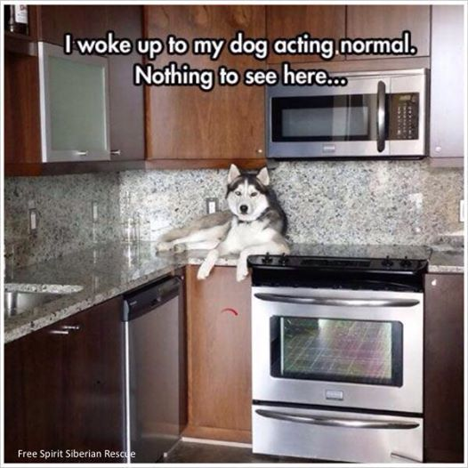 I've had this happen before! Silly husky...