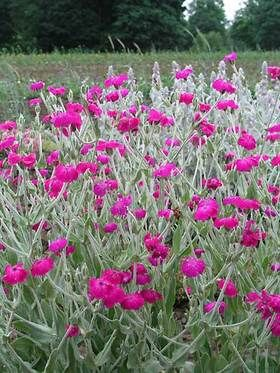 103 best my garden behind the garage images on pinterest all summer lychnis coronaria atrosanguinea rose campion catchfly type perennials height medium plant mightylinksfo