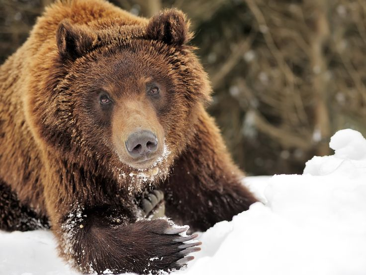 Hó alatt táplálékot kereső barnamedve a Nat Geo Wild 'Tél a vadonban' című műsorából. [A nap képe - 2015. december  7.]