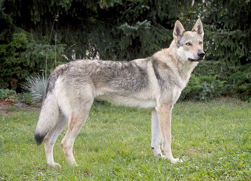 Czechoslovakian Wolf Dog - German Shepherd and Wolfdog