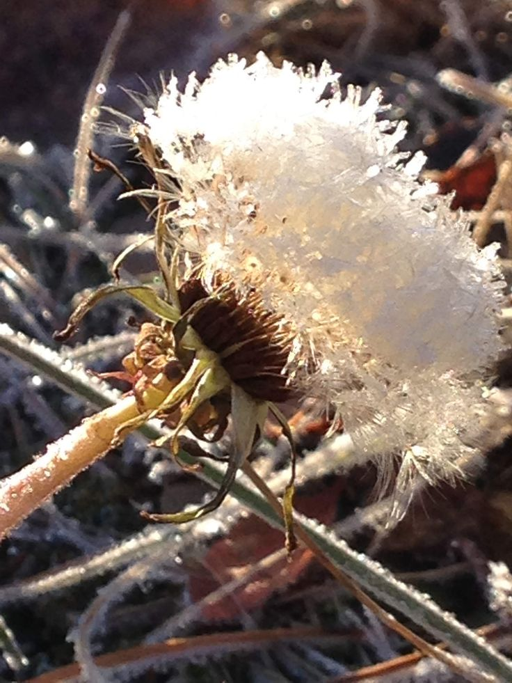 https://flic.kr/p/EfN3WL | Even as a #crystal the #dandelion begs the #sun for that one last chance to show the world that 'yes, I do exist'. #snow #flower #bloom #cry #emotions #garden #macro #camera #lens #nature