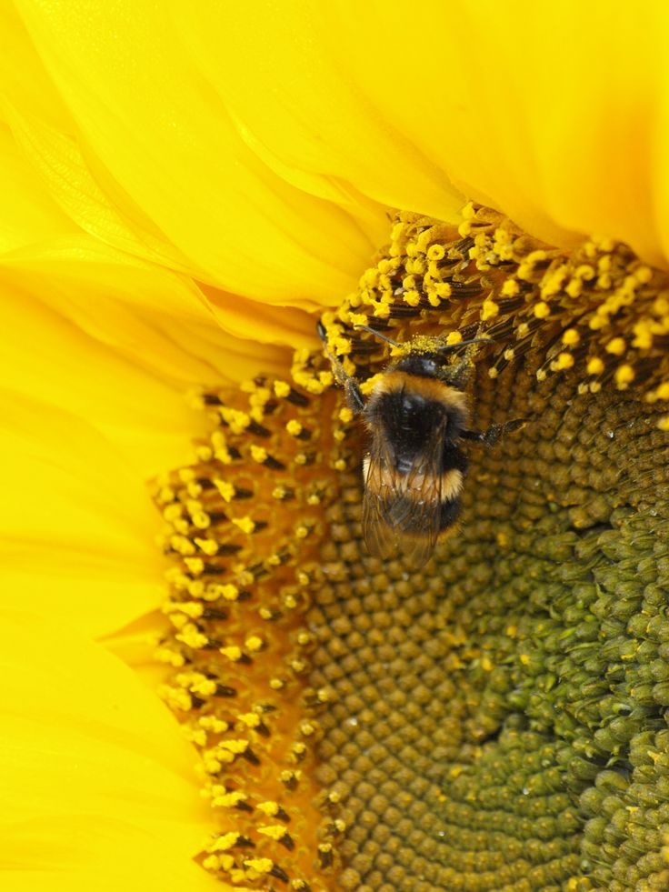 Bumble bee on sunflower in my garden