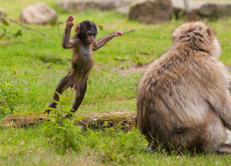 Peters Nieuws: De Berberaap baby