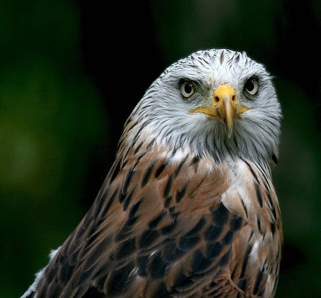 Red kite - Roter Milan by pe_ha45, via Flickr